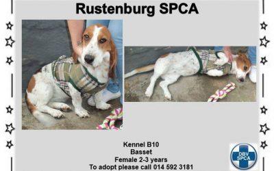Lovely Basset Hound in Kennel B10