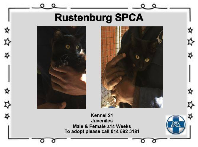 Black Cat - Male- Female - SPCA Rustenburg -Adoption