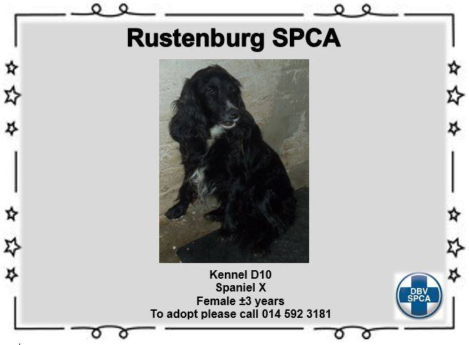 Spaniel Cross - Female - Black - 3 Years old - SPCA Rustenburg - Adoption