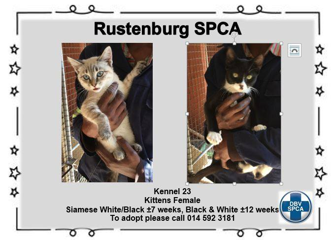 Kittens - Siamese- Black & White- Female - SPCA Rustenburg -Adoption