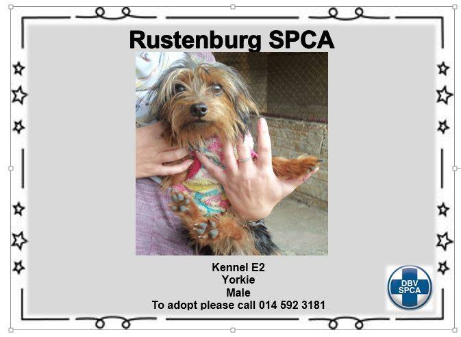 Yorkshire Terrier - Adoption - Male - SPCA Rustenburg