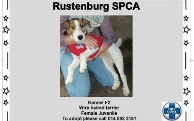 Juvenile Wire Hair Terrier – Female – Kennel F2