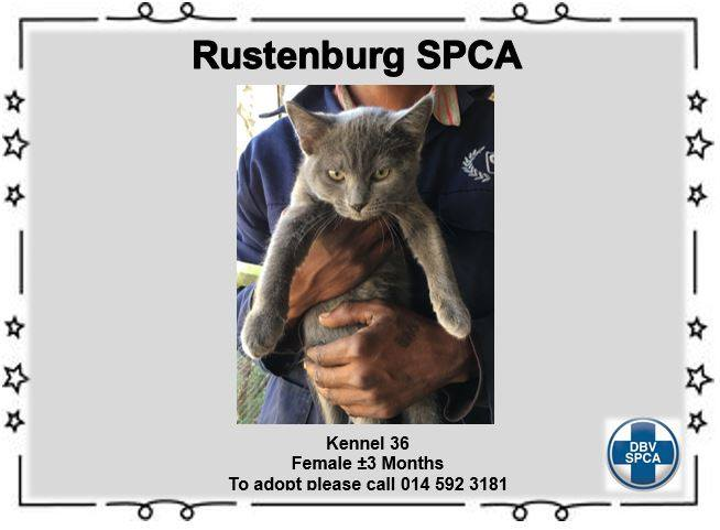 Grey Cat - Female - SPCA Rustenburg -Adoption
