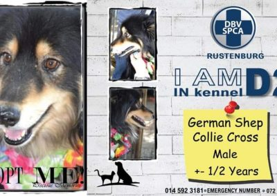 German Shepard Collie Cross Male