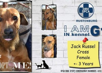 Jack Russel Cross Female