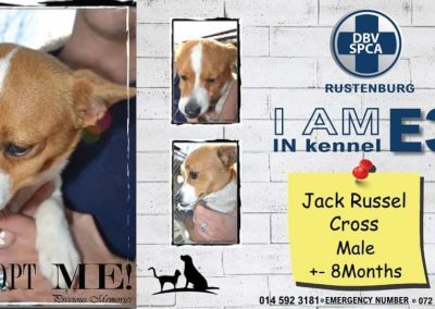 Jack Russel Cross Male