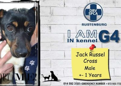 Jack Russel Cross Male (2)