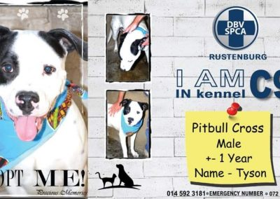 Pitbull Cross Male Tyson